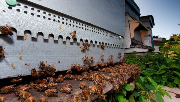 Honey bee weight hive